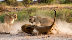 Sư tử cái nổi cơn cuồng nộ vì 'ghen'