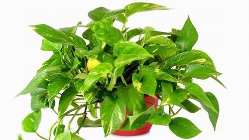 những loại cây cảnh trồng trong nhà, cây cảnh tốt cho sức khỏe, những loại cây cảnh đẹp