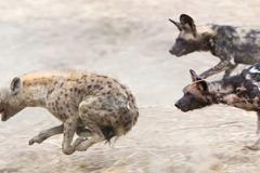 Linh cẩu thuỷ chiến khốc liệt với chó hoang