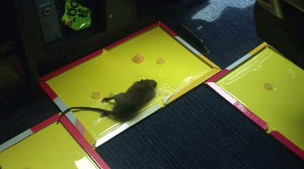 Máy bay hạ cánh khẩn cấp vì có chuột