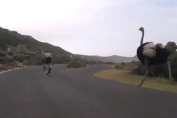 Đà điểu 'truy sát' du khách đạp xe với tốc độ chóng mặt