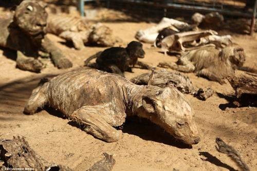 La liệt xác động vật chết khô tại vườn thú bi thương nhất thế giới
