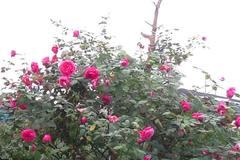 Đại gia chơi cây hoa hồng cổ cao 4 mét, 150 triệu