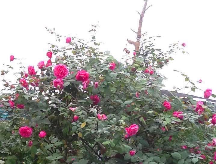 hồng cổ, hồng cổ sapa, hồng vân khôi, đại gia, đai gia Việt, nhà giàu việt, biệt thự