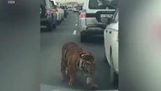 Phát hoảng thấy hổ đi dạo trên cao tốc