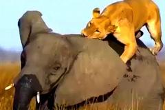 """Bầy sư tử đói xé xác voi rừng """"khủng"""""""