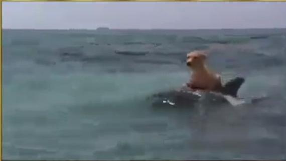 Cá heo cứu chó giữa biển khơi