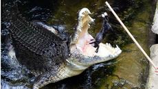 Cá sấu đớp nát tay, du khách tưởng màn trình diễn
