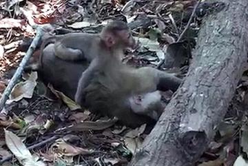 Chết lặng cảnh khỉ con ôm xác mẹ không rời