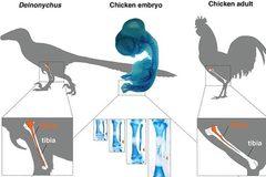 Hồi sinh chân khủng long trên cơ thể gà