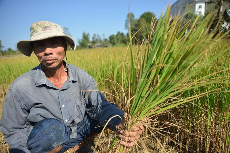 Trắng tay, ôm nợ vì lúa ngập mặn