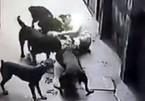 Cả khu phố khiếp sợ đàn chó dữ cắn xé ông chủ