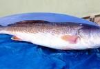 Bắt được cá sủ vàng nặng 9kg giá tiền tỷ trên sông Thị Vải