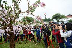 Trưng bày 10.000 cảnh hoa anh đào tại vườn hoa Lý Thái Tổ