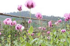 Về nơi trồng thuốc phiện làm... rau sống