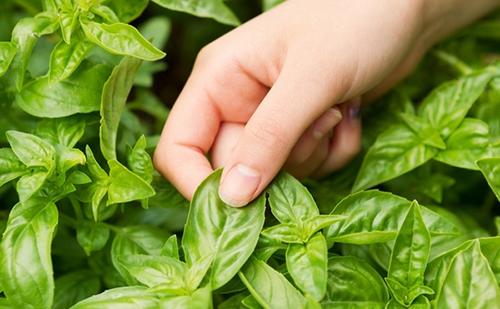 mẹo trồng rau trong thùng xốp, trồng rau tại nhà, vườn rau ban công