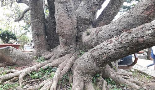 Ngắm siêu cây quần long hội tụ 10 tỷ độc nhất VN