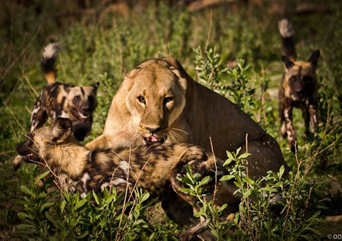 Chó hoang tử chiến với sư tử để bảo vệ đàn