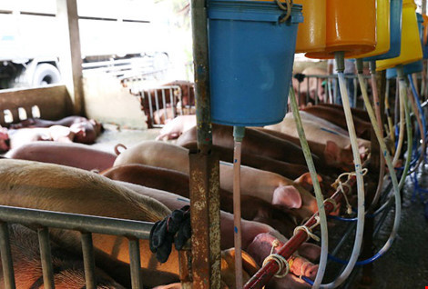 Hàng trăm con heo bị tiêm thuốc 'có nguy cơ gây ung thư tủy'