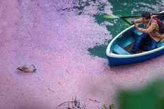 'Đường hầm' hoa anh đào như mơ ở Nhật Bản