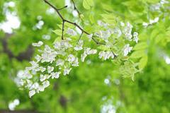 Mùa hoa Sưa dấu yêu