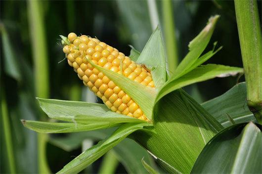 cây trồng biến đổi gen