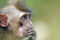 Vì sao Bộ Quốc phòng Nga tìm mua 5 khỉ đực?