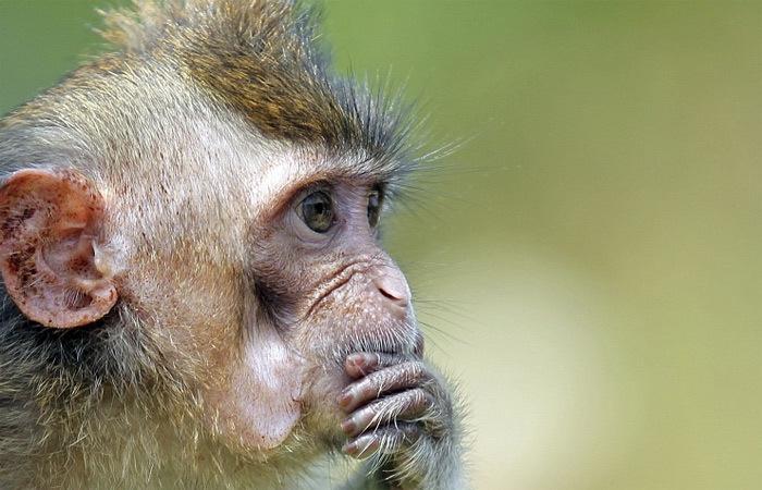 Nga, quốc phòng, khỉ, khỉ đực, cá heo