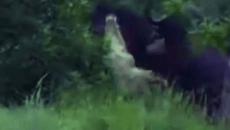 Cá sấu thủng bụng vì bị trâu rừng húc tung lên không trung