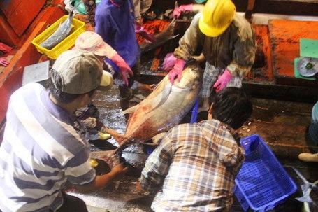 Ngư dân bắt được đàn cá hiếm gặp, thu về gần 700 triệu