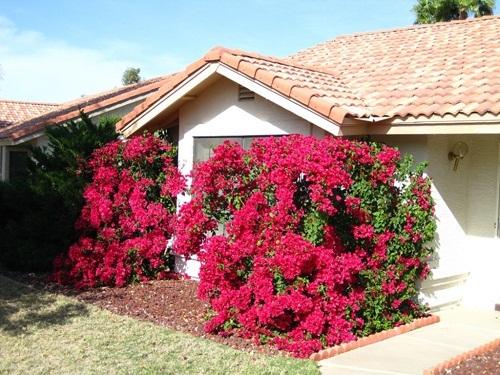 trồng hoa giấy, trồng hoa ban công, nhà đẹp