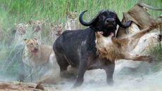 Sư tử bị húc thủng bụng, treo lên sừng trâu