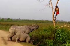 """Tê giác """"khủng"""" doạ người đàn ông khiếp sợ trên cây"""