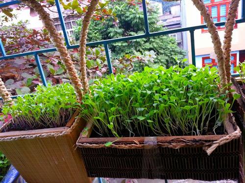 Mẹ Lào Cai trồng rau mầm kín bậu cửa sổ cho chồng con