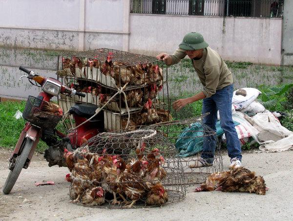 gà trung quốc, nhập khẩu gà trung quốc, ăn thịt rác, gà thải loại, gà nhập khẩu, chăn nuôi gia cầm