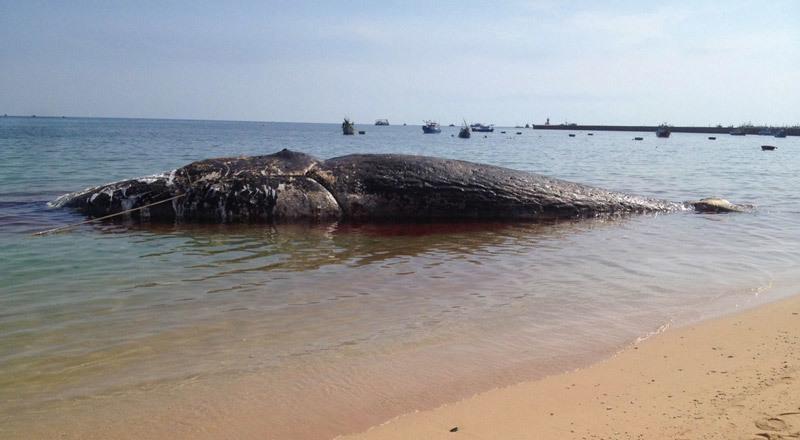 Cá voi khổng lồ gần 70 tấn chết trôi dạt ở đảo Phú Quý