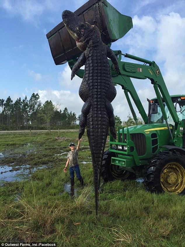 Bắt cá sấu 'khổng lồ' từng nuốt chửng bò