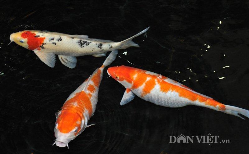 cá koi, cá quý, Hà Nội, cá Koi Nhật Bản, cá vua, cá quý hiếm