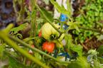 Ngất ngây vườn sân thượng 15 giống cà chua trĩu quả ở Hà Nội