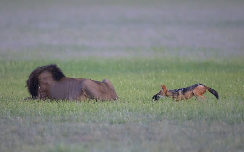 Chó rừng 'hoang tưởng' định tấn công sư tử