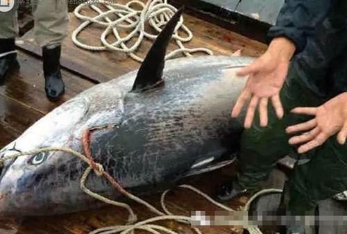 Ngư dân bắt được cá mú khổng lồ dài gần 2m