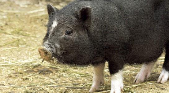 Lợn ỉn Việt Nam 'làm loạn' tại Tây Ban Nha