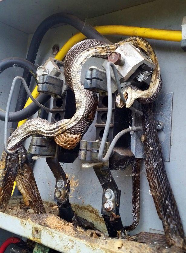 Phát hiện cặp rắn 'khổng lồ' chết khô trong tủ điện