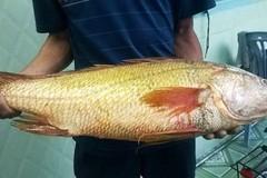 Ngư dân bắt được cá sủ vàng trăm triệu ở Vũng Tàu