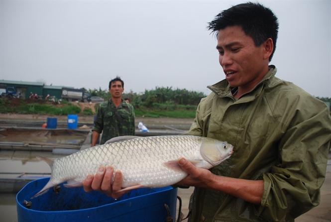 Bí mật cá lực sỹ ăn chay trường trên sông Kinh Thầy