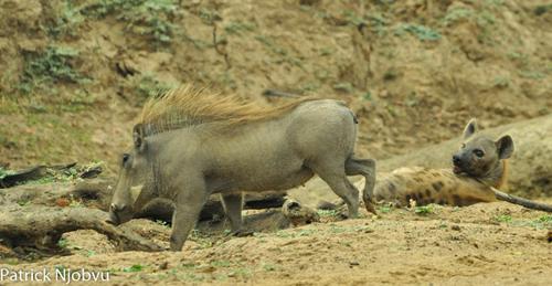 Lợn rừng truy đuổi 3 linh cẩu chạy bạt vía