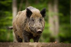 Lợn rừng gây hoang mang ở Fukushima sau thảm họa hạt nhân