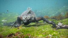"""Xem thằn lằn """"quái vật"""" săn mồi dưới đáy biển"""