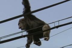 Tinh tinh trốn sở thú làm xiếc trên dây điện