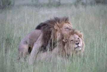 """Bằng chứng sư tử cũng bị """"gay"""""""